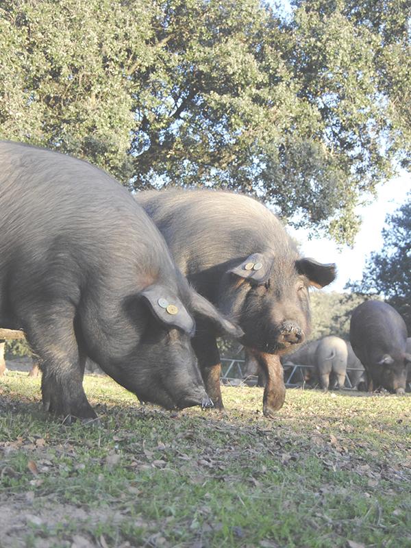 cerdos ibericos comiendo bellotas