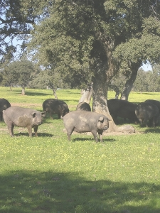 cerdos ibericos